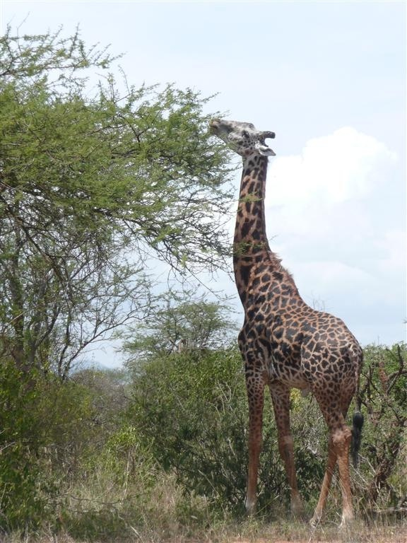 0902 JT Giraffe