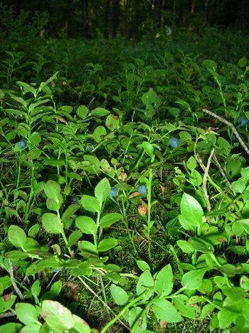 Blueberriesbynight