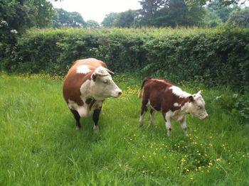 Ed's cows