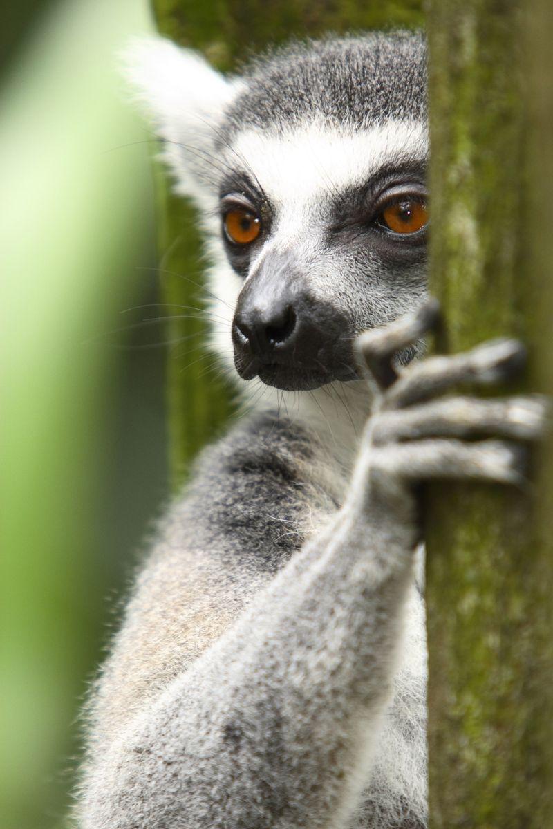 Lemur TO USE
