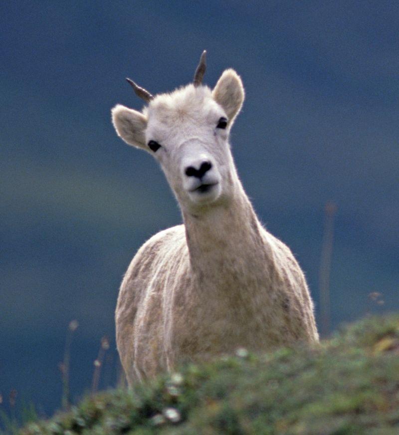 Sheep croppedd