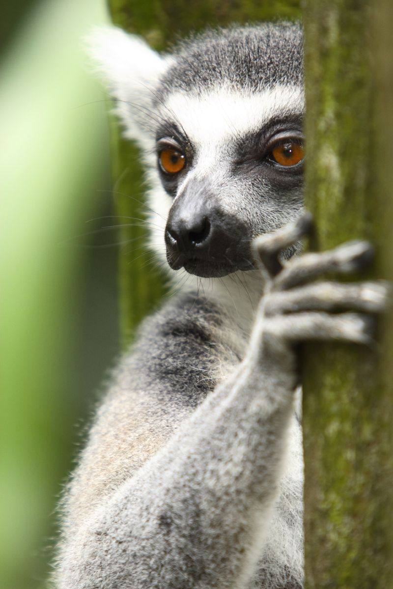 Lemur TO USE cropped