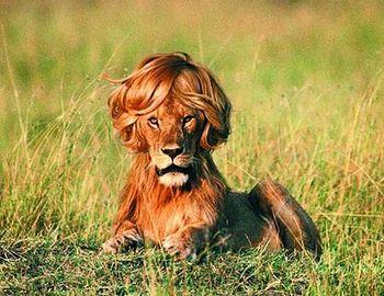Lion chop