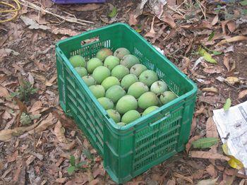 Conventional farm - Mango Harvest (9)