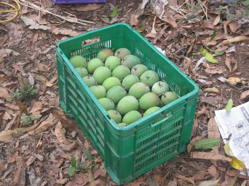 Conventional farm - Mango Harvest (9)