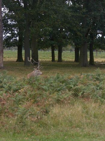 Stag in Bushy park - Jeevika Trust