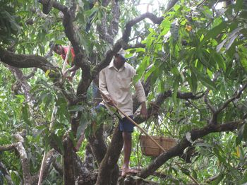 Conventional farm - Mango Harvest (4)