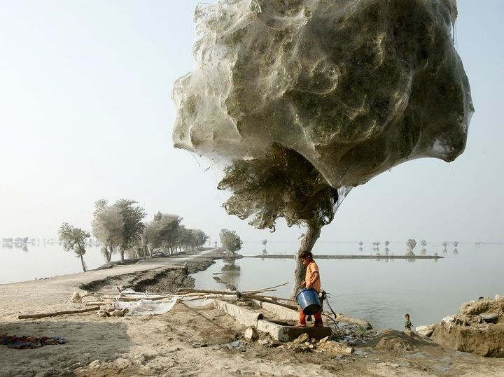 Cobweb trees in Pakistan post flooding 2010 (from Kimberley)