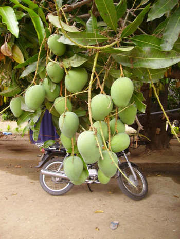 Mangoes_growing_in_grounds_of_hindu