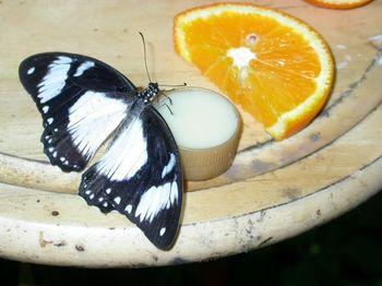 Mocker_swallowtail_in_pbc