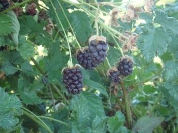 Boysenberry_bush