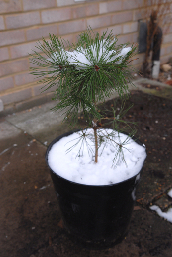 Snowy_tree